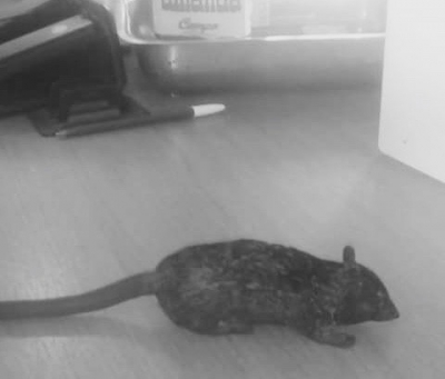 The rat of Pacheco